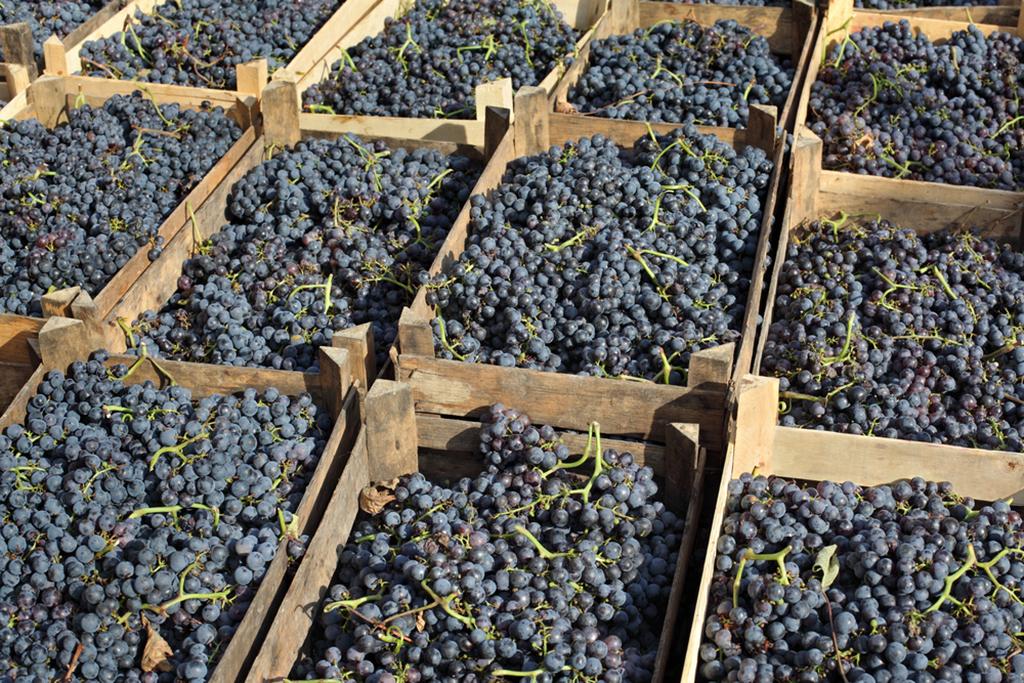 Quanto maior a altitude em que a uva merlot é cultivada, mais ácido e floral tende a ser o vinho