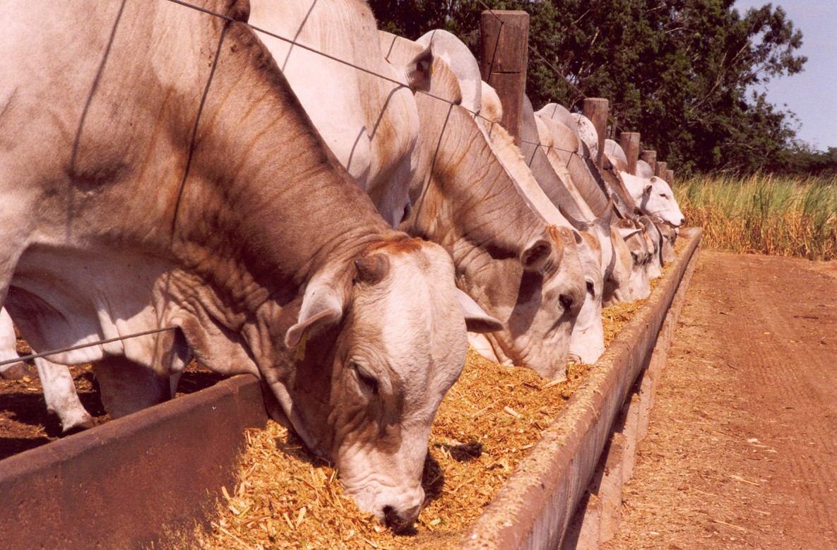 A recria do gado tem por objetivo a engorda, o ganho de gordura subcutânea e a otimização da carcaça para a fase de acabamento do gado de corte.