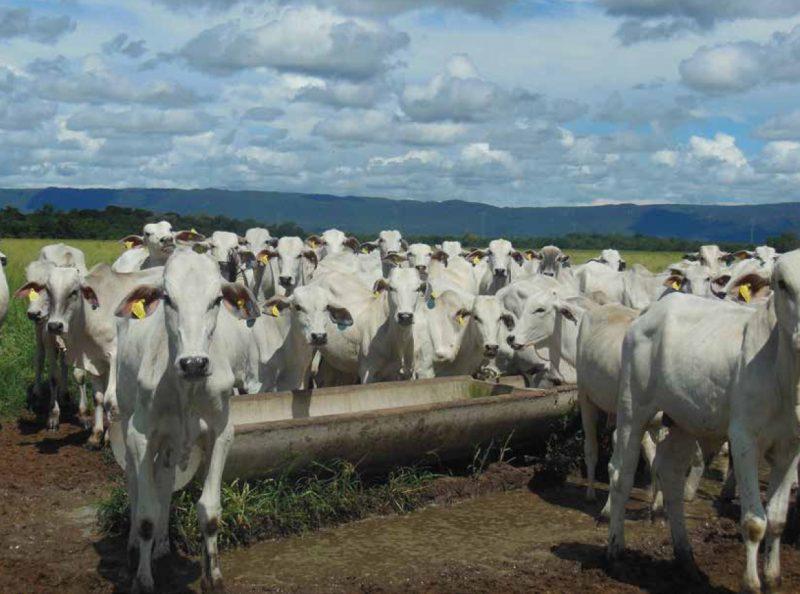 A suplementação é uma forma do gado absorver sais minerais e proteínas que não há ou são escassas nas pastagens.