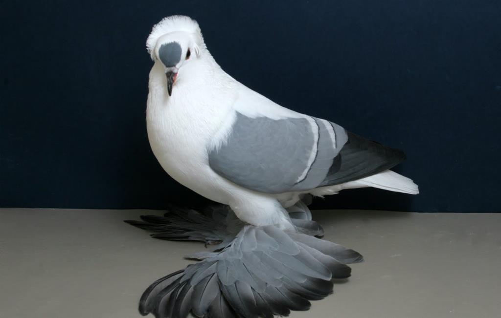 leilão de Bolt, um pombo-correio